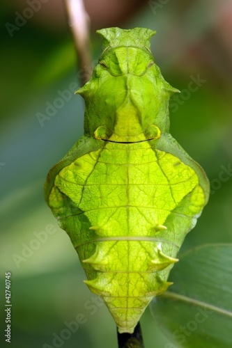 butterfly pupa face