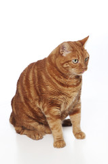 A funny photo of an orange Tabby cat sticking out its tongue.