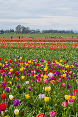 Colorful field of tulip flowers in bloom