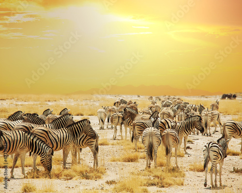 Zdjęcia na płótnie, fototapety na wymiar, obrazy na ścianę : Zebra