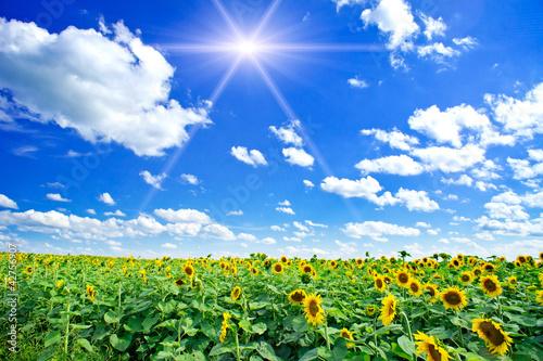 Fototapeten,sonnenblume,feld,wiese,ackerbau