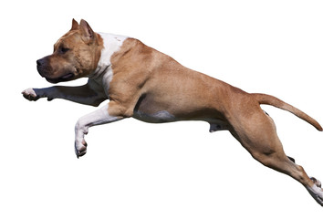 Isolated dog jumping