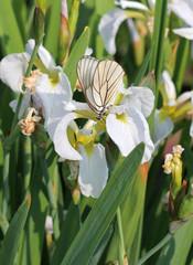 Бабочка на белых ирисах