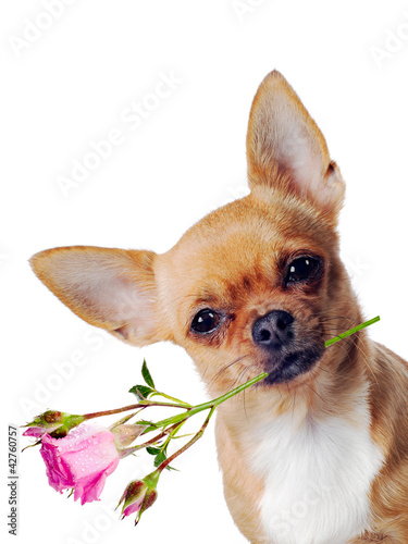 Photo : Chihuahua dog with rose isolated on white background