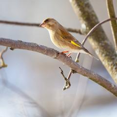 Птица зеленушка сидит на ветке дерева
