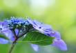 青紫の額紫陽花Hydrangea macrophylla