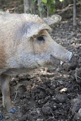 Mangalicaschwein