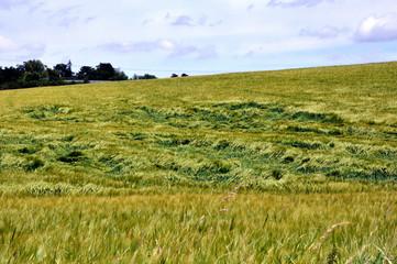 Après la tempête, champ de céréales.