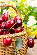 delicious sweet cherry fruits in wicker basket