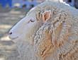 close up shot of an Australian adult merino sheep