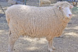 Australian adult merino sheep