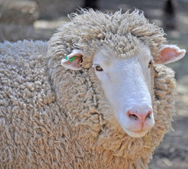 close up shot of an Australian adult merino sheep