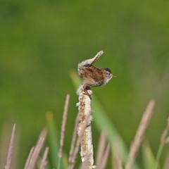 Marsh wren on cattail
