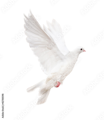 isolated white dove