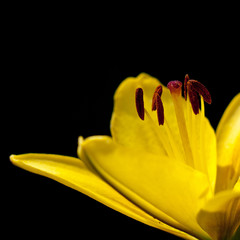 Yellow lily on a black background