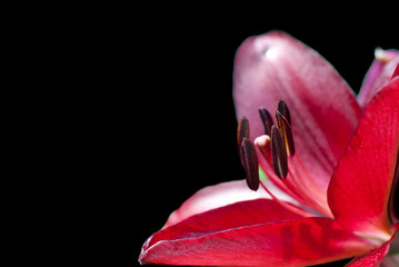 Red lily on a black background