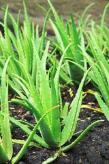 Aloe Vera is grown in the garden