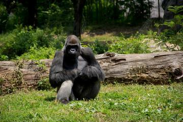Gorilla Staring Back at You