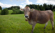 Kühe mit Glocke I