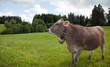Kühe mit Glocke II