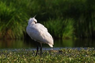 Spatule blanche mâle au repos