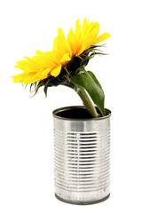 Sonnenblume in Konservendose