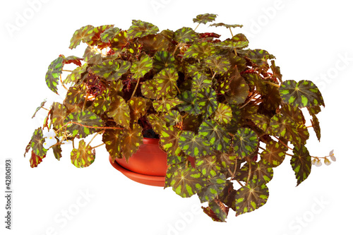 Begonia rex  in  pot. Isolated on white