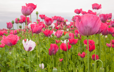 Poppy cultivation in the Netherlands