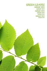 Green elm leaves isolated on white. Leaves border