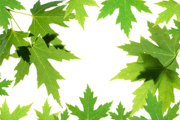 Green maple leaves isolated on white. Natural frame