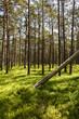 Kiefernwald auf Sandö in Schweden