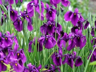 Касатик мечевидный ( Iris ensata)