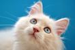Weißes Katzen Kitten mit türkisenen Augen