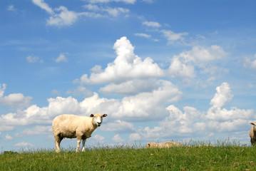 Schafe, Deich, Wolken, Haseldorfer Marsch, bei Hamburg