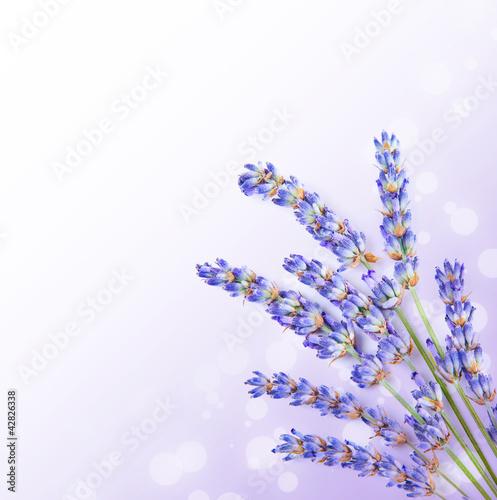 swieze-kwiaty-lawendy-granicy