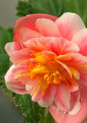 Pink begonia flower close up