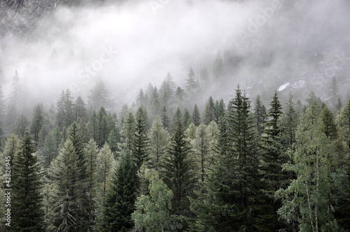 Pine trees in fog on hill side - 42828945