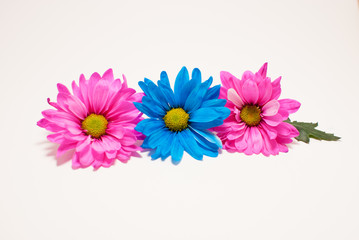 Fuchsia and Blue Daisies