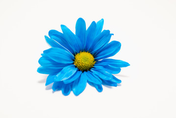 Electric Blue Daisy
