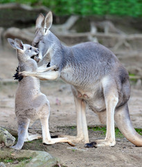 Australian western grey kangaroo embrace of baby joey