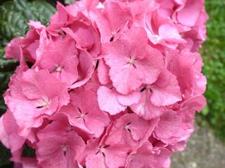 Blumen: Hortensien