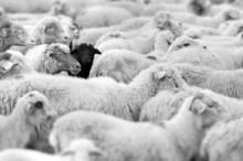 """Постер, картина, фотообои """"black sheep"""""""