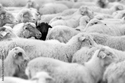 Fototapety, obrazy : black sheep