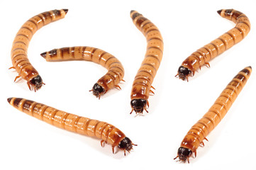 Mehlwürmer, Zophobas