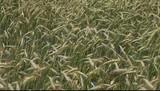 Rye stems in wind.