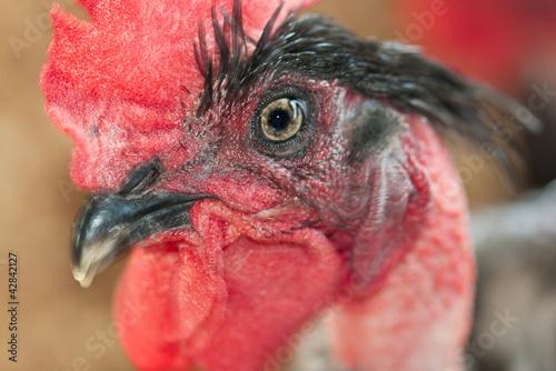 tête de coq rouge, cou déplumé