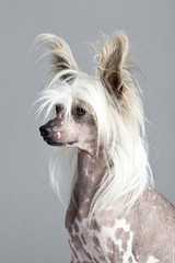 Chinese Ctested Hairless Dog