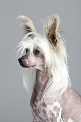 Chinese Ctested Hairless Dog
