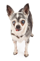 Old Blind Chihuahua Dog