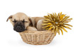 Sleeping shepherd puppy in a basket with flower